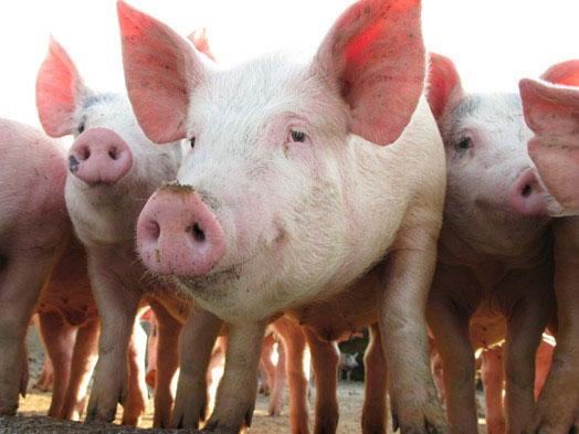 Купим свинину живой вес