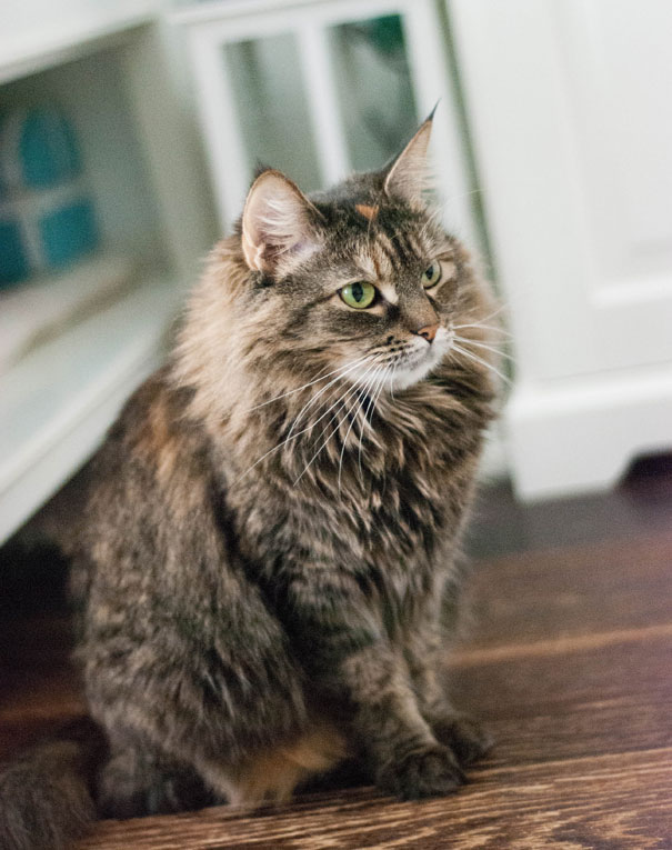 Чистоплотная грациозная кошка Лола в дар
