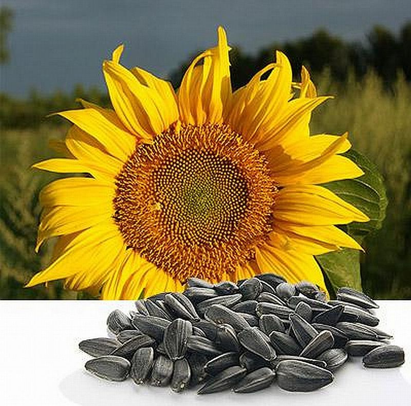 Семена подсолнечника сорта Белочка, ВНИИМК 100, Донской крупноплодный, Лакомка,