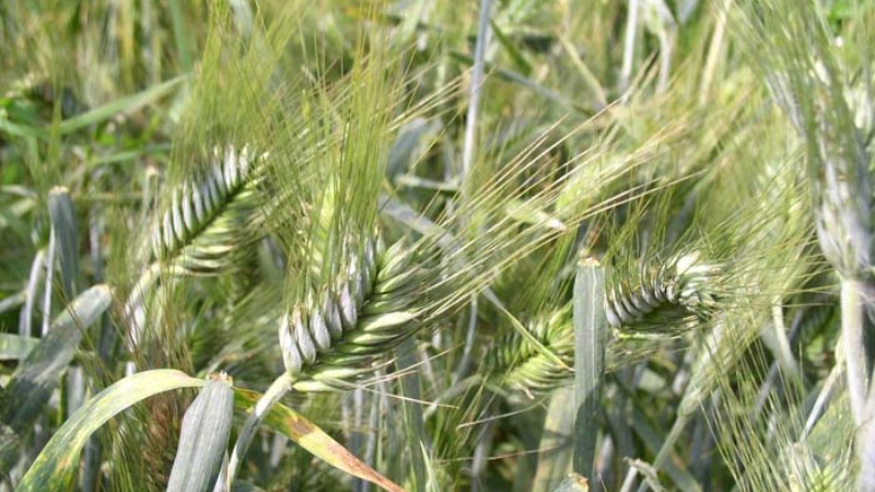 Семена озимого тритикале Валентин-90, Хлебороб