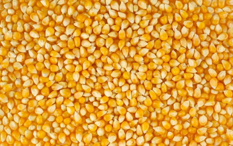Кукурузы зерно