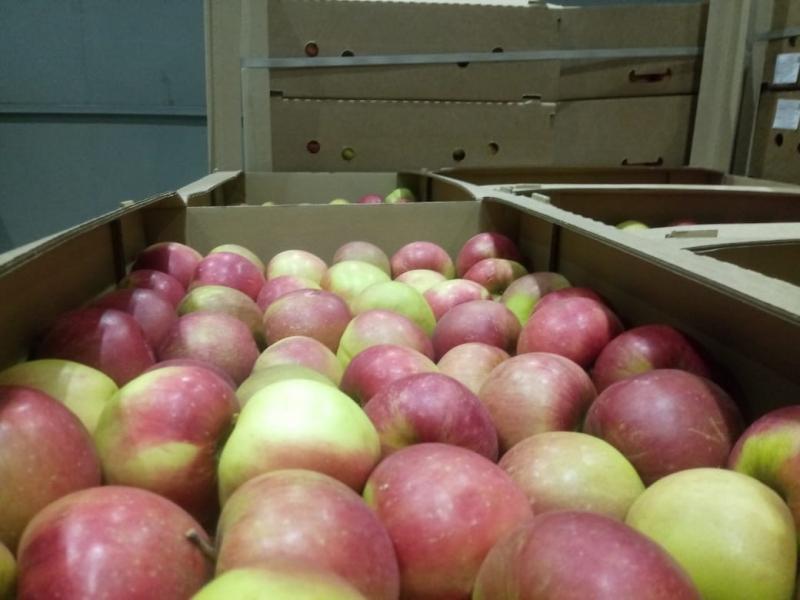 Яблоки Алеся 70.