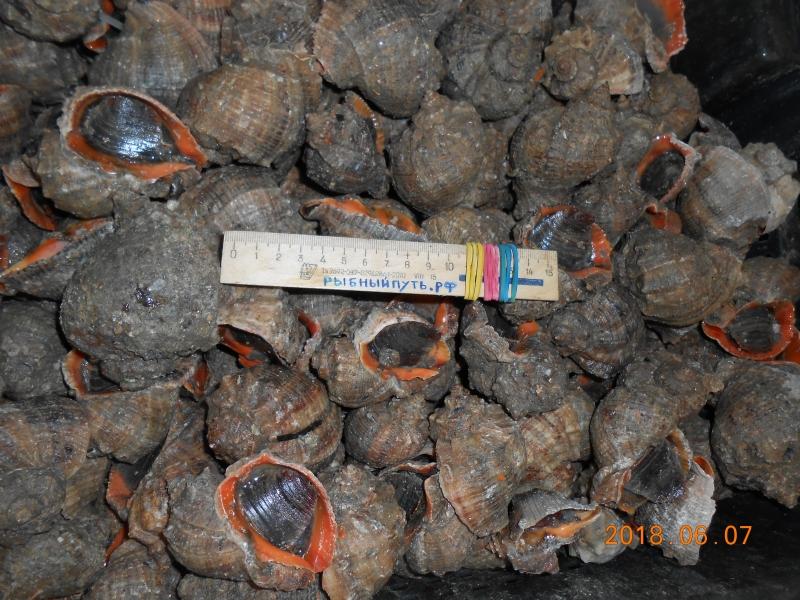 Мясо моллюска рапана, кефаль, барабулька оптом в Керчи